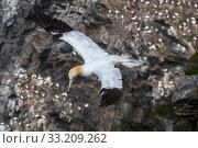 Купить «Northern gannet (Morus bassanus) in flight soaring along sea cliff at seabird breeding colony, Hermaness, Unst, Shetland Islands, Scotland, UK, May», фото № 33209262, снято 9 апреля 2020 г. (c) Nature Picture Library / Фотобанк Лори