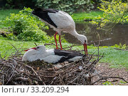 Купить «White stork (Ciconia ciconia) male bringing branch for nest building to nesting female in spring, captive.», фото № 33209294, снято 6 июля 2020 г. (c) Nature Picture Library / Фотобанк Лори