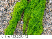 Cladophora rupestris, green alga washed on rocky beach, Normandy, France, June. Стоковое фото, фотограф Philippe Clement / Nature Picture Library / Фотобанк Лори