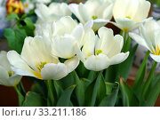 Купить «Tulipa Purissima (Fosteriana Tulip),  classy and elegant tulip with broad pure white elongated petals and creamy base», фото № 33211186, снято 20 февраля 2020 г. (c) Валерия Попова / Фотобанк Лори