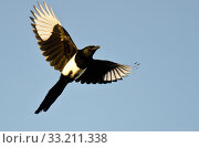 Купить «Black-Billed Magpie Flying in a Blue Sky», фото № 33211338, снято 12 июля 2020 г. (c) PantherMedia / Фотобанк Лори