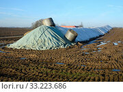 Pile of sugar beets (Beta Vulgaris) covered by tarpaulin in winter, January month, in Slimminge, Scania, Sweden. Стоковое фото, фотограф Alf Jönsson / age Fotostock / Фотобанк Лори