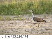 Great Indian Bustard, Ardeotis nigriceps, Female, Critically Endangered species, Desert National Park, Rajasthan, India. Стоковое фото, фотограф Ephotocorp / age Fotostock / Фотобанк Лори