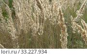 Купить «Yellow autumn grass sways in wind. Beautiful rural landscape on field or meadow. Warm, sunny September day. Slow motion through grass. Contemplation of natural beauty. Close up slow motion video», видеоролик № 33227934, снято 2 июня 2020 г. (c) Dmitry Domashenko / Фотобанк Лори