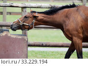 Купить «Bruemmerhof stud farm, horse shakes itself out of a bar while drinking», фото № 33229194, снято 22 июня 2019 г. (c) Caro Photoagency / Фотобанк Лори