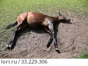 Купить «Bruemmerhof, horse lies stretched out in a paddock on the side», фото № 33229306, снято 22 июня 2019 г. (c) Caro Photoagency / Фотобанк Лори