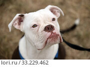Купить «Hamburg, Germany, English Bulldog», фото № 33229462, снято 5 июля 2019 г. (c) Caro Photoagency / Фотобанк Лори