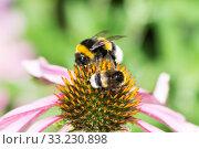Купить «Two bumblebees on a echinacea blossom», фото № 33230898, снято 31 мая 2020 г. (c) PantherMedia / Фотобанк Лори