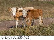 Купить «Два телёнка стоят на обочине грунтовой дороги осенью», фото № 33235162, снято 28 сентября 2018 г. (c) Светлана Попова / Фотобанк Лори