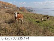Купить «Коровы пасутся на берегу озера рядом с деревней поздней осенью», фото № 33235174, снято 28 сентября 2018 г. (c) Светлана Попова / Фотобанк Лори