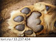 Купить «Paw of Lion», фото № 33237434, снято 9 июля 2020 г. (c) PantherMedia / Фотобанк Лори
