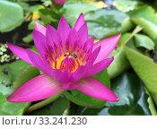 Bee on lotus flower. Стоковое фото, фотограф Александр Подшивалов / Фотобанк Лори