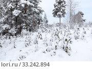 Edge of a wood with snow covered field and pines, winter landscape. Стоковое фото, фотограф Кекяляйнен Андрей / Фотобанк Лори