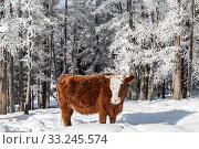 A cow stands in a snowdrift in the winter forest. Altai Republic, Russia. Стоковое фото, фотограф Наталья Волкова / Фотобанк Лори
