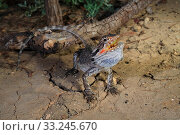 Купить «Eastern Bearded Dragon (Pogona barbata) subadult in threat display, Brigalow habitat near Moonie, Queensland, Australia.», фото № 33245670, снято 31 марта 2020 г. (c) Nature Picture Library / Фотобанк Лори
