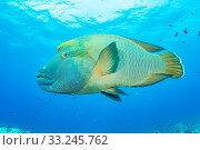 Купить «Napoleon wrasse (Cheilinus undulatus) at Blue Corner, Palau.», фото № 33245762, снято 5 июля 2020 г. (c) Nature Picture Library / Фотобанк Лори