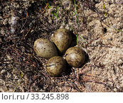 Купить «Curlew (Numenius arquata) nest with four eggs on recently burnt heather strip - this is the usual nest site on a working Grouse Moor, a recent decision...», фото № 33245898, снято 3 августа 2020 г. (c) Nature Picture Library / Фотобанк Лори