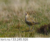 Купить «Golden plover (Pluvialis apricaria) female Calling on Grouse Moor, Upper Teesdale, Durham, England. UK, June», фото № 33245926, снято 3 августа 2020 г. (c) Nature Picture Library / Фотобанк Лори