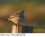 Купить «Meadow pipit (Anthus pratensis) in full song from fence post, Upper Teesdale, Co Durham, England, UK, June», фото № 33246674, снято 6 июля 2020 г. (c) Nature Picture Library / Фотобанк Лори