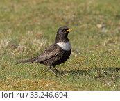 Купить «Ring ouzel (Turdus torquatus) male on short turf, Upper Teesdale, Co Durham, England, UK. June», фото № 33246694, снято 3 апреля 2020 г. (c) Nature Picture Library / Фотобанк Лори