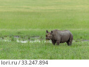 Купить «Rhino in the Masai Mara», фото № 33247894, снято 29 мая 2020 г. (c) PantherMedia / Фотобанк Лори