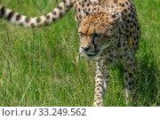 Купить «cheetah in the Masai Mara to foray», фото № 33249562, снято 29 мая 2020 г. (c) PantherMedia / Фотобанк Лори