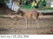 Один из диких  пятнистых оленей, живущий в Форте Фредерик, крупным планом. Тринкомали, Шри-Ланка (2020 год). Стоковое фото, фотограф Виктор Карасев / Фотобанк Лори