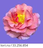 Купить «Englische Rose, Lilian Austin», фото № 33256854, снято 29 мая 2020 г. (c) PantherMedia / Фотобанк Лори
