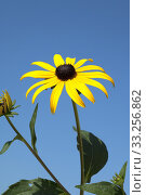 Купить «sun; rudbeckia hirta», фото № 33256862, снято 29 мая 2020 г. (c) PantherMedia / Фотобанк Лори