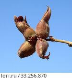 Haselnuesse; Corylus; avellana. Стоковое фото, фотограф Manfred Ruckszio / PantherMedia / Фотобанк Лори