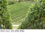 Weinterrassen Blankenhornsberg, Kaiserstuhl. Стоковое фото, фотограф Manfred Ruckszio / PantherMedia / Фотобанк Лори