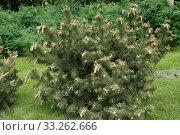 Купить «Сосна горная, кустарник», фото № 33262666, снято 26 мая 2019 г. (c) Илюхина Наталья / Фотобанк Лори