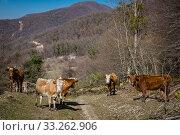 Купить «Краснодарский край, Туапсинский район, корова на горном пастбище», фото № 33262906, снято 18 февраля 2020 г. (c) glokaya_kuzdra / Фотобанк Лори