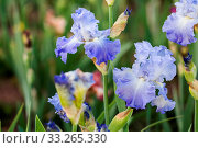 Different colors of iris in blooming garden in early June. Стоковое фото, фотограф Zoonar.com/Arina Habich / age Fotostock / Фотобанк Лори