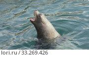 Купить «Wild marine mammal animal Northern Sea Lion swimming in cold water Pacific Ocean», видеоролик № 33269426, снято 28 февраля 2020 г. (c) А. А. Пирагис / Фотобанк Лори