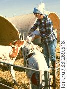Купить «woman care feeds two week old calf from bottle with dummy», фото № 33269518, снято 24 октября 2017 г. (c) Татьяна Яцевич / Фотобанк Лори