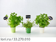 Купить «greens or herbs in pots with name plates on table», фото № 33270010, снято 12 июля 2018 г. (c) Syda Productions / Фотобанк Лори