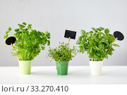 Купить «greens or herbs in pots with name plates on table», фото № 33270410, снято 12 июля 2018 г. (c) Syda Productions / Фотобанк Лори