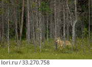 Купить «European Wolf (Canis lupus), male in dense forests. Finland, July.», фото № 33270758, снято 4 августа 2020 г. (c) Nature Picture Library / Фотобанк Лори