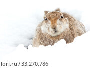 Mountain hare  (Lepus timidus) resting Cairngorms, Scotland, March. Стоковое фото, фотограф Danny Green / Nature Picture Library / Фотобанк Лори