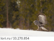 Купить «RF - Great grey owl (Strix nebulosa) in flight about to land, Finland, April.  (This image may be licensed either as rights managed or royalty free.)», фото № 33270854, снято 30 марта 2020 г. (c) Nature Picture Library / Фотобанк Лори
