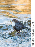 Купить «RF - Eurasian dipper (Cinclus cinclus) in river, The Netherlands. March. (This image may be licensed either as rights managed or royalty free.)», фото № 33271078, снято 3 апреля 2020 г. (c) Nature Picture Library / Фотобанк Лори