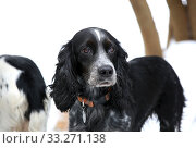 Купить «Dog black hunting spaniel portrait», фото № 33271138, снято 15 февраля 2020 г. (c) Яна Королёва / Фотобанк Лори