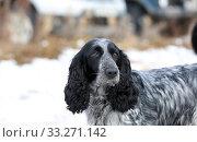 Купить «Portrait of a hunting dog breed purebred spaniel», фото № 33271142, снято 15 февраля 2020 г. (c) Яна Королёва / Фотобанк Лори