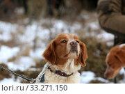 Купить «Portrait of a hunting dog breed purebred spaniel», фото № 33271150, снято 15 февраля 2020 г. (c) Яна Королёва / Фотобанк Лори