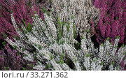 Купить «Bright image of flowering heather plants growing in garden», видеоролик № 33271362, снято 8 ноября 2019 г. (c) Яков Филимонов / Фотобанк Лори