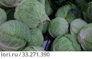 Купить «Closeup of fresh savoy cabbages. Vegetable background. Vegetarian food concept», видеоролик № 33271390, снято 20 ноября 2019 г. (c) Яков Филимонов / Фотобанк Лори