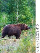 Купить «Kamchatka brown bear in natural habitat, walking in summer forest. Kamchatka Peninsula», фото № 33272410, снято 20 августа 2019 г. (c) А. А. Пирагис / Фотобанк Лори