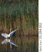 Купить «Great white egret (Egretta alba) with its wings raised as it hunts for fish in a marshland pool near dense red beds at dusk, RSPB Ham Wall reserve, Somerset, UK, October.», фото № 33284002, снято 9 апреля 2020 г. (c) Nature Picture Library / Фотобанк Лори