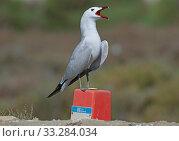 Купить «Audouin's gull (Larus audouinii) male display calling over its breeding territory. Ebro Delta marismas , Catalonia, Spain, May.», фото № 33284034, снято 9 апреля 2020 г. (c) Nature Picture Library / Фотобанк Лори